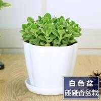 办公室桌面绿植香草花卉盆栽一抹香室内 多肉植物碰碰香满礼品 含盆