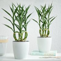 富贵竹办公室盆栽绿植水养植物花卉盆景