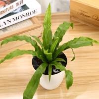 花卉盆栽室内种植办公室水培绿色植物桌面芦荟 发财树盆栽礼品 带盆栽好