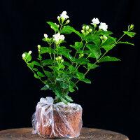 虎皮兰发财树绿萝植物办公室盆栽富贵竹室内盆栽芦荟文竹绿植花卉礼品