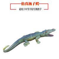 动物解剖模型 仿真家禽啄木鸟猫头鹰杜鹃鳄鱼*教学实验器材