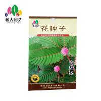 含羞草 花种子(小袋)松大园艺花种子盆栽阳台四季种易养易活