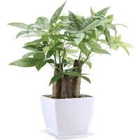 发财树盆栽小盆景办公室绿色植物室内花卉客厅招财金钱树盆栽绿植