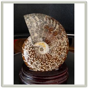 全玉化鹦 鹉 螺化石CHO1079