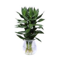 观音竹水培植物室内盆栽绿植水养植物