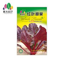 红叶甜菜花种子(大袋)松大园艺四季种盆栽花种子 易活四季播