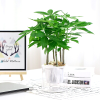 发财树盆栽植物室内客厅鸿运当头开业招财水培小盆景摆