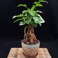 幸福树提根小盆栽办公室桌上小盆景发财树平安树绿植礼品 含盆