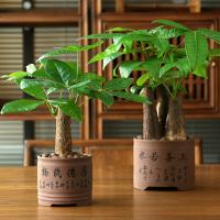 发财树盆栽小盆景发财树室内盆栽植物招财摆件客厅美观绿植