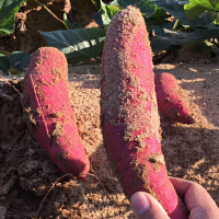 【包邮】精选中果福建六鳌沙地红蜜薯5斤