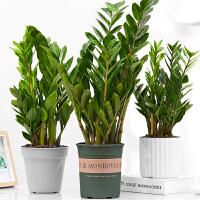 大金钱树发财树盆栽植物钱串子客厅室内招财绿植