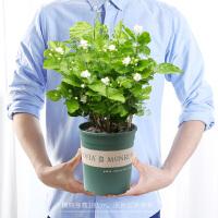 茉莉花盆栽花卉观花植物阳台常年开花的盆栽花