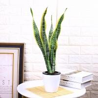虎皮兰植物盆栽室内绿植净化空气虎尾兰水培植物客厅金边虎皮兰礼品 一盆3颗 40cm