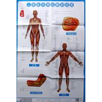 【全新直发】人体肌肉神经解剖挂图1-3 周建党 9787530894309 天津科学技术出版社