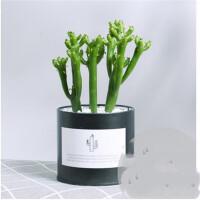 多肉植物新手仙人掌盆栽芦荟植物室内盆栽仙人掌类植物含盆礼品 含盆
