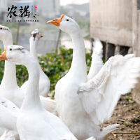 农谣土鹅农家散养老鹅新鲜大白鹅8斤以上草鹅肉鹅肝 新鲜鹅肉