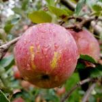 【包邮】云南昭通丑苹果冰糖心苹果毛重10斤 新鲜采摘 脆甜多汁 (70-75果) 非烟台红富士非洛川苹果