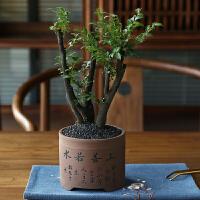 盆景植物室内小盆栽树桩盆景花盆四季常青