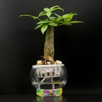 水培富贵竹植物花卉室内盆栽竹好养竹子水里植物礼品 含盆