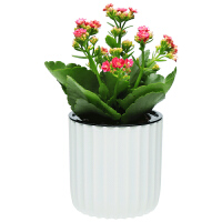 长寿花盆栽重瓣花花卉观花植物室内花 四季开花不断阳台植物